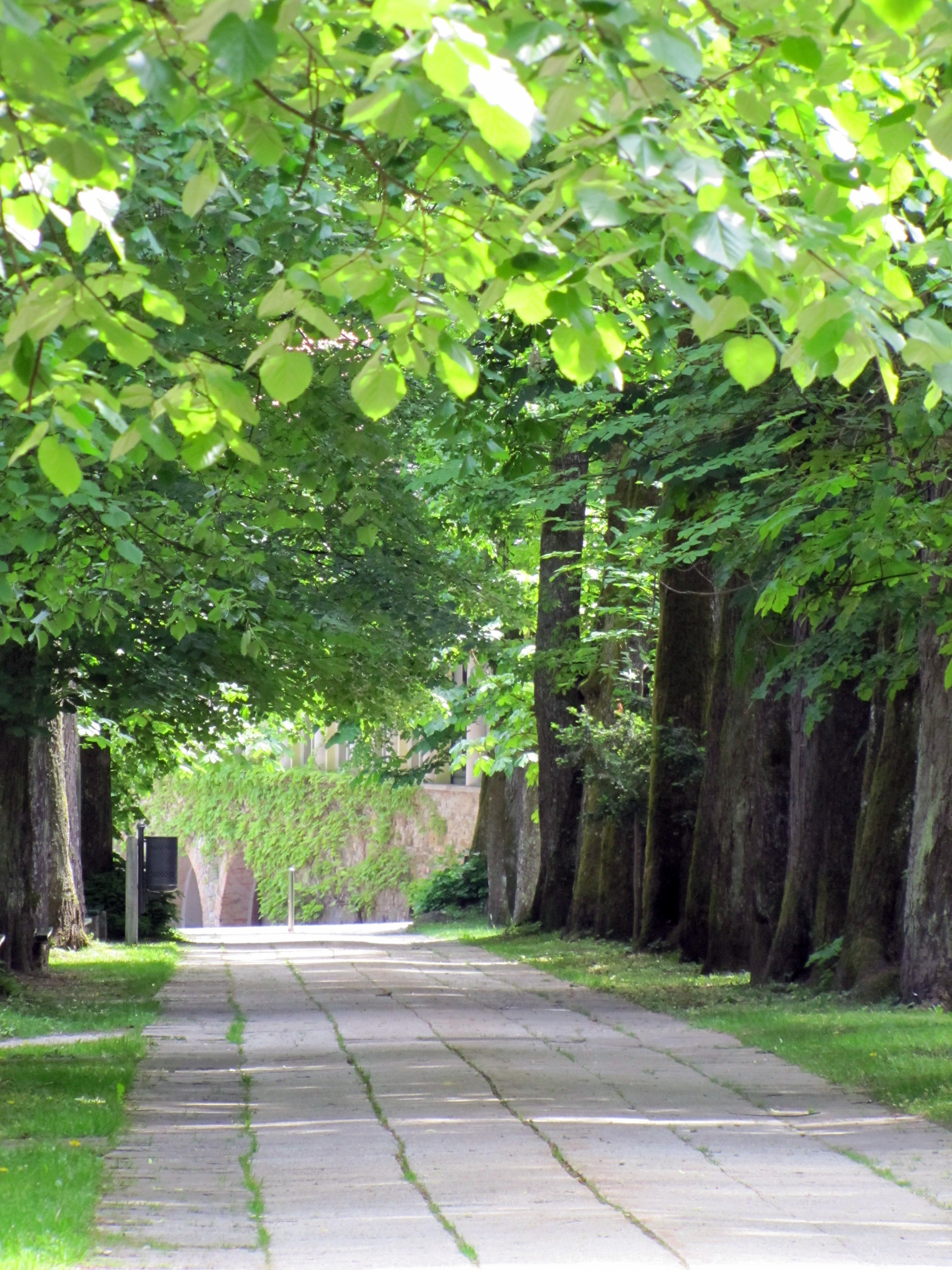 Kostanjev drevored2